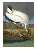Wood Stork Prints by John James Audubon