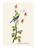 Black-Throated Blue Warbler Print by John James Audubon