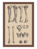Leg Bones Poster von Andreas Vesalius