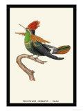 Hummingbird: Male Trochilus Ornatus Prints by Sir William Jardine