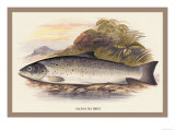 Galaway Sea Trout Poster by A.f. Lydon