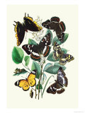 Butterflies: L. Populi, A. Iris Posters by William Forsell Kirby