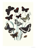 Butterflies: H. Circe, H. Hermione Prints by William Forsell Kirby