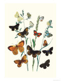 Butterflies: L. Roboris, P. Orion Posters by William Forsell Kirby