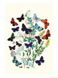 Butterflies: P. Euphemus, P. Cyllarus Poster by William Forsell Kirby