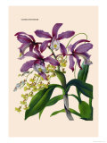 Orchid: Cattleya Harrisoniae Print by William Forsell Kirby