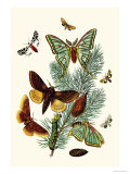 Moths: E. Pudica, E. Pantheria, S. Caecigena, L. Lineosa Art by William Forsell Kirby