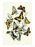 Butterflies: P. Podaliris, P. Alexanor Posters by William Forsell Kirby