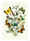 Butterflies: C. Palaeno, C. Phicomene Poster by William Forsell Kirby