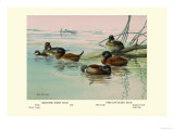 Argentine and Peruvian Ruddy Ducks Posters par Allan Brooks