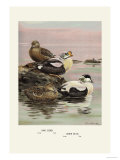 Eider and King Eider Ducks Posters par Allan Brooks