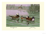 White-Headed and Ruddy Ducks Poster par Allan Brooks