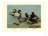Canvas-Back, Common Pochard and Red-Head Ducks Affiches par Allan Brooks