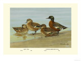 Gray Teal and Chestnut-Breasted Teal Affiches par Allan Brooks