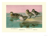 Four Types of Teal Ducks Art by Allan Brooks
