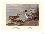 Pintail Ducks Poster par Allan Brooks