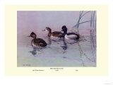 Ring-Necked Duck Art by Allan Brooks