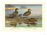 Hawaiian Duck and Oustalet's Gray Duck Prints by Allan Brooks