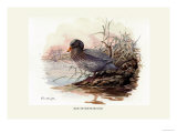 Mountain Duck Affiches par Allan Brooks