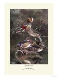 Mandarin and Carolina Ducks Posters by Allan Brooks