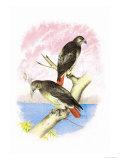 Red-Tailed Hawks Plakater av Theodore Jasper