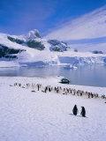 Gentoo Penguins, Antarctic Peninsula, Antarctica Photographic Print by Geoff Renner