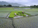 Paddy Fields, Farmers Planting Rice, Kashmir, India Reproduction photographique par John Henry Claude Wilson