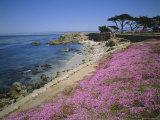 Carpet of Mesembryanthemum Flowers, Pacific Grove, Monterey, California, USA Photographic Print by Geoff Renner
