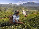 Women Tea Pickers, Tea Hills, Hill Country, Nuwara Eliya, Sri Lanka, Asia Photographic Print by Gavin Hellier