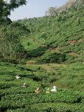 Women Picking Tea in a Tea Plantation, Munnar, Western Ghats, Kerala State, India, Asia Fotografie-Druck von Gavin Hellier
