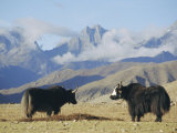 Yaks Near Nyalam, Tibet, China, Asia Fotografisk tryk af Jane Sweeney