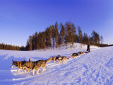 Driving a Dogsled with a Team of 8 Siberian Huskies, Karelia, Finland, Europe Photographic Print by Louise Murray