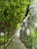 Lemon Groves, Amalfi Coast, Campania, Italy, Europe Photographic Print by Mark Mawson