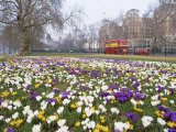 Crocus Flowering in Spring in Hyde Park, Bus on Park Lane in the Background, London, England, UK Photographic Print by Mark Mawson