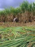 Sugar Cane Cutting by Hand, Reunion Island, Indian Ocean Valokuvavedos tekijänä Sylvain Grandadam