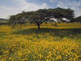 Acacia Tree and Yellow Meskel Flowers in Bloom after the Rains, Green Fertile Fields, Ethiopia Photographic Print by Gavin Hellier