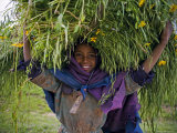 Portait of Local Girl Carrying a Large Bundle of Wheat and Yellow Meskel Flowers, Ethiopia Fotografisk tryk af Gavin Hellier