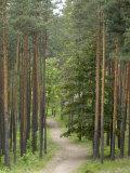 Path Through Pine Forest, Near Riga, Latvia, Baltic States, Europe Fotografisk trykk av Gary Cook