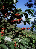 Close-up of Coffee Plant and Beans, Lago Atitlan (Lake Atitlan) Beyond, Guatemala, Central America Photographic Print by Aaron McCoy