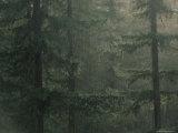Fir Trees in Rain, Oregon, United States of America, North America Lámina fotográfica por Colin Brynn