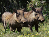 Warthogs (Phacochoerus Aethiopicus), Addo Elephant National Park, South Africa, Africa Fotografisk tryk af James Hager