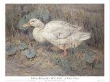 White Duck Planscher av Edwin Alexander