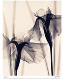 Japanese Iris Affischer av Judith Mcmillan