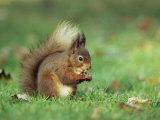 Red Squirrel (Sciurus Vulgaris), Lowther, Near Penrith, Cumbria, England, United Kingdom, Europe Lámina fotográfica por Ann & Steve Toon