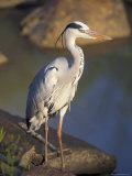 Grey Heron (Ardea Cinere), Kruger National Park, Mpumalanga, South Africa, Africa Fotografie-Druck von Ann & Steve Toon