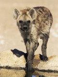 Spotted Hyena, Crocuta Crocuta, Kgalagadi Transfrontier Park, South Africa, Africa Lámina fotográfica por Ann & Steve Toon