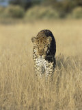 Male Leopard, Panthera Pardus, in Capticity, Namibia, Africa Fotografisk tryk af Ann & Steve Toon