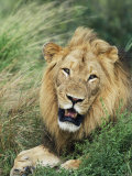 Male Lion, Panthera Leo, Kruger National Park, South Africa, Africa Fotografisk tryk af Ann & Steve Toon