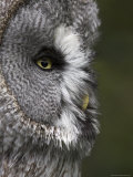 Portrait of a Great Grey Owl (Strix Nebulosa), Captive, United Kingdom, Europe Fotografisk tryk af Ann & Steve Toon