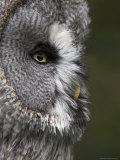 Portrait of a Great Grey Owl (Strix Nebulosa), Captive, United Kingdom, Europe Fotografie-Druck von Ann & Steve Toon